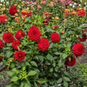 Location: Dahlia Hill, Midland, MichiganDate: 2019-10-05The purest of reds in this cultivar