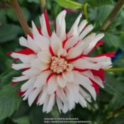 Photo of Dahlia 'Hollyhill Joker's Wild'