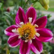 Photo of Dahlia 'Pink Rebel'
