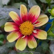 Photo of Dahlia 'Hy Balero'