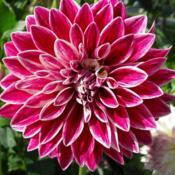 Photo of Dahlia 'Bradley Aaron'