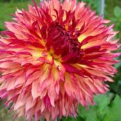 Photo of Dahlia 'Myrtle's Folly'