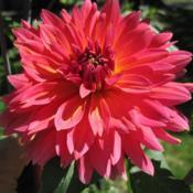 Photo of Dahlia 'Fire Magic'