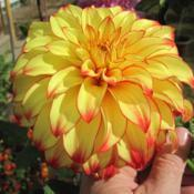 Photo of Dahlia 'Lady Darlene'
