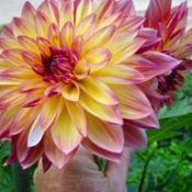 Photo of Dahlia 'Caribbean Fantasy'