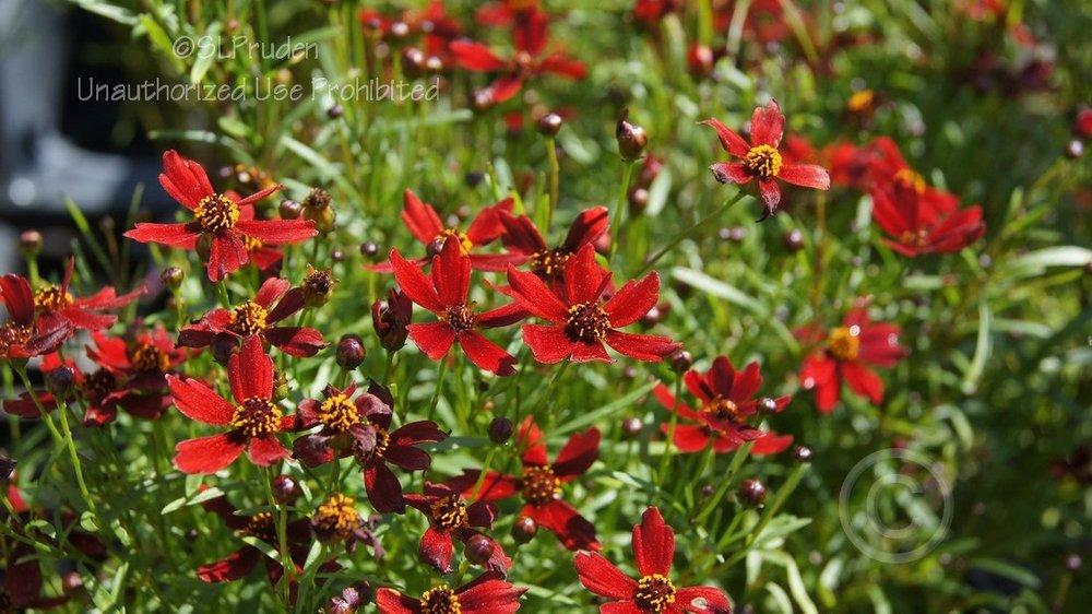 Photo of Hybrid Tickseed (Coreopsis 'Cherry Pie') uploaded by DaylilySLP