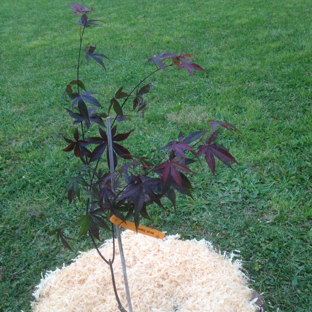 Photo of Japanese Maple (Acer palmatum var. amoenum Emperor I®) uploaded by SkirtGardener