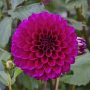 Location: Dahlia Hill, Midland, MichiganDate: 2019-09-26Classed as purple, it looks more pink to me.  Certainly not the d