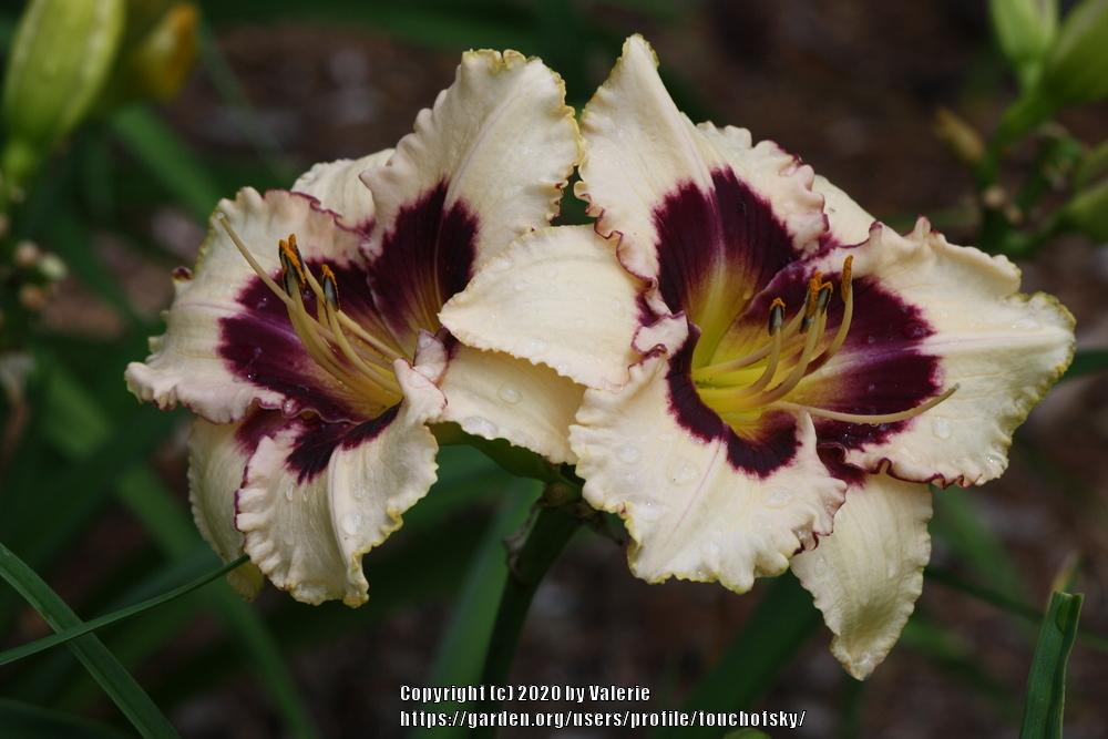 Photo of Daylily (Hemerocallis 'Wonderfully Made') uploaded by touchofsky