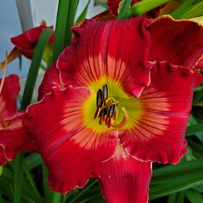 Photo of Daylily (Hemerocallis 'Master Jack') uploaded by Ahead