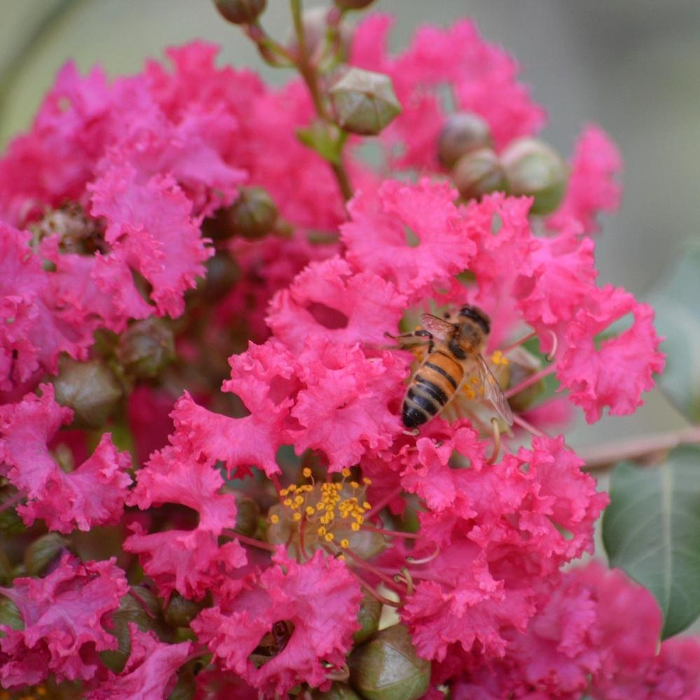 Photo of Crape Myrtle (Lagerstroemia indica 'Tuscarora') uploaded by BellaKelly