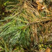 Location: Hidden Lake Gardens, Tipton, MichiganDate: 2020-10-23Every autumn pine trees shed a batch of needles from previous yea