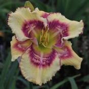 Location: Dorsets N Daylilies, Zanesville OHDate: 2019-07-01Jeepers Creepers    Hatfield - K., 2019 hybridizer submitted