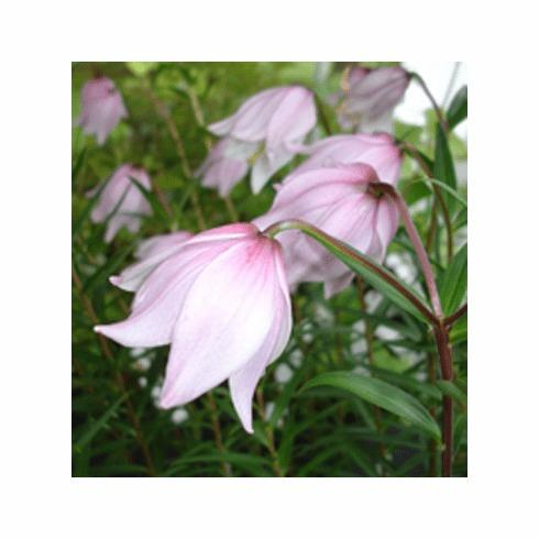 Photo of Lily (Lilium mackliniae) uploaded by Joy