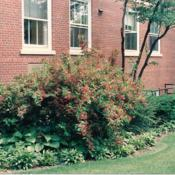 Location: Hinsdale, IllinoisDate: late Spring about 1990full-grown specimen