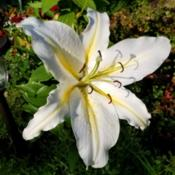 Location: Ann Arbor, MichiganDate: 2020-07-22Lilium 'White Star Gazer'  This one includes a yellow s