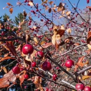 The candy apple red of ripe fruit of Prairifire crabapple