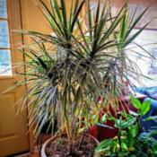 Location: Ann Arbor, MichiganDate: 2020-11-12Dracaena Marginata (Madagascar Dragon Tree) Varigated