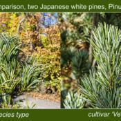 Location: Hidden Lake Gardens, Tipton, MichiganDate: 2020-10-28The 'Venus' cultivar of Pinus parviflora has straight needles, ve