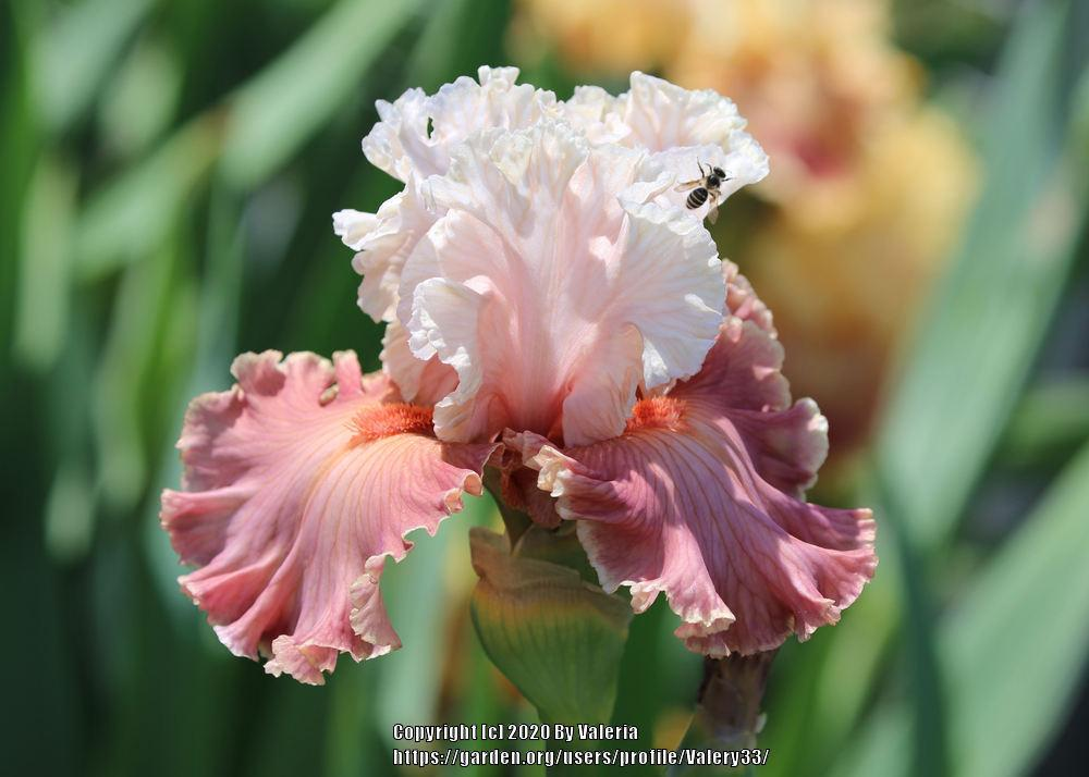 Photo of Tall Bearded Iris (Iris 'Emblematic') uploaded by Valery33
