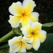 Location: Tampa Bay, Florida Date: September Plumeria