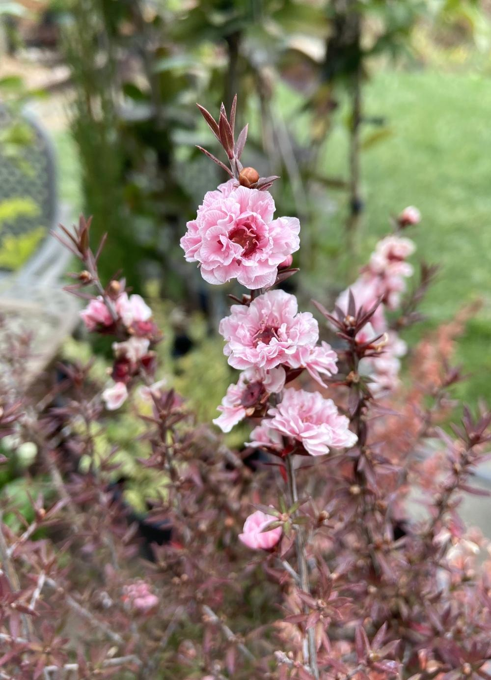 New Zealand Tea Tree (<i>Leptospermum scoparium</i> 'Apple Blossom')