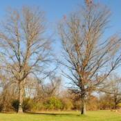 Location: Downingtown PennsylvaniaDate: 2020-11-29two full-grown trees in park land