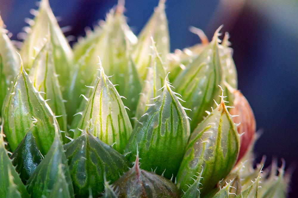 Cathedral Window Haworthia (<i>Haworthia cymbiformis</i>)