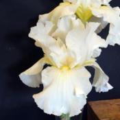 Location: in my friend's garden in Oklahoma CityDate: 11Species Iris (Iris germanica 'Alba')