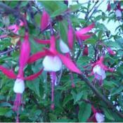 "Location: Wairarapa, New ZealandA Fuschia, but known only to us as ""white skirt"" specie"
