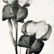 Date: c. 1922photo by Hoog from 'Les Iris cultivés', 1923