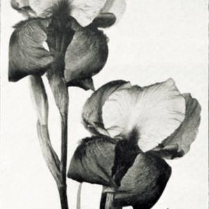 photo by Hoog from 'Les Iris cultivés', 1923