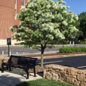 Location: Statesville, NCDate: 04/28/2018Planted as a street tree in downtown Statesville, NC.