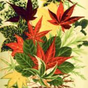 Date: c. 1909illustration of various Maple leaves from the 1909 catalog, Yokoh