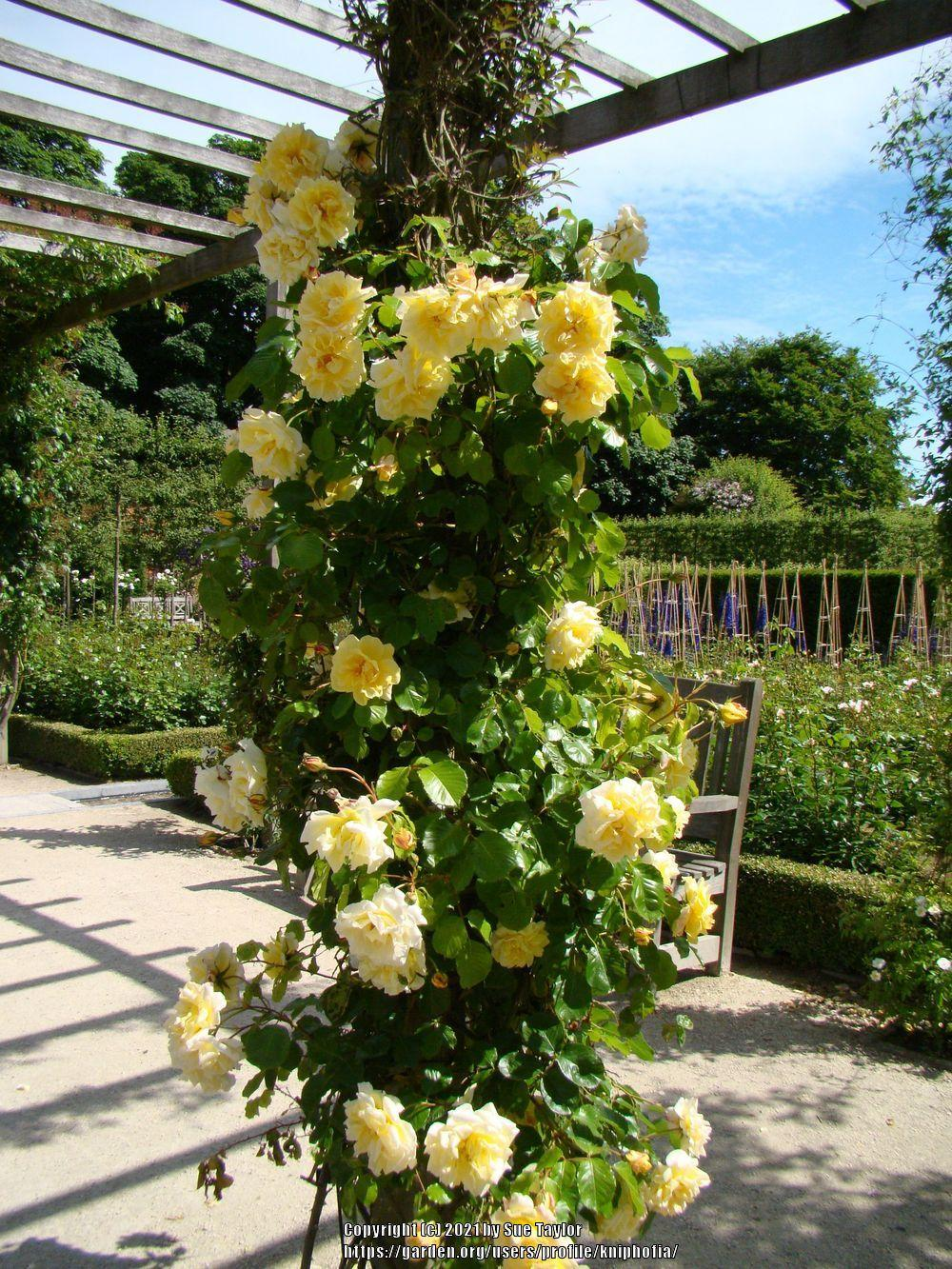 Photo of Rose (Rosa 'Easlea's Golden Rambler') uploaded by kniphofia