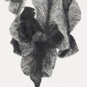 Date: c. 1931photo of Aril Iris 'Freya' from the 1931 catalog, Weeds