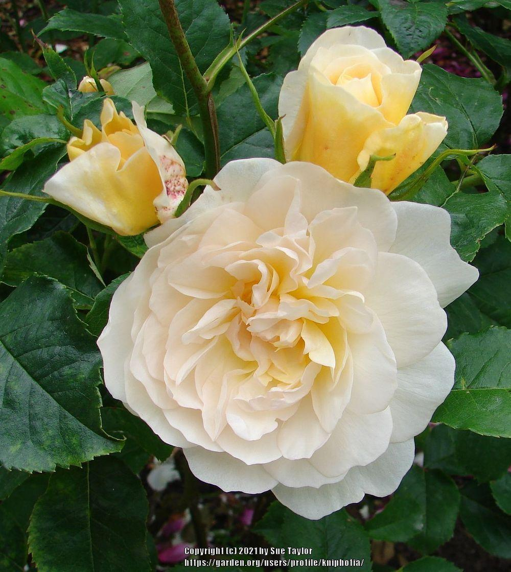 Photo of Rose (Rosa 'Ludlow Castle') uploaded by kniphofia