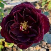 Location: Near Napa Valley (Northern California)Date: 2018-12-12Tradescant is the darkest of my red David Austin roses.