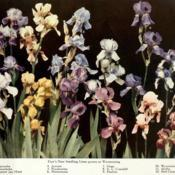Date: c. 1915photo of 12 Irises raised by Bertrand Farr from the 191