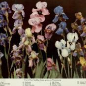 Date: c. 1915photo of 11 Irises raised by Bertrand Farr from the 191