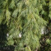 Location:  Hidden Lake Gardens, MichiganDate: 2019-10-15Pinus stobus 'Pendula' - Drooping branches that give this cultiva