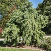 Location:  Hidden Lake Gardens, MichiganDate: 2019-10-15Pinus stobus 'Pendula' - Seen on a windy fall day, with a hint of