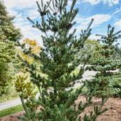 Location: Harper conifer collection, Hidden Lake Gardens, MichiganDate: 2019-10-15Pinus parviflora 'Venus', Planted 2015.  A recent addition to the