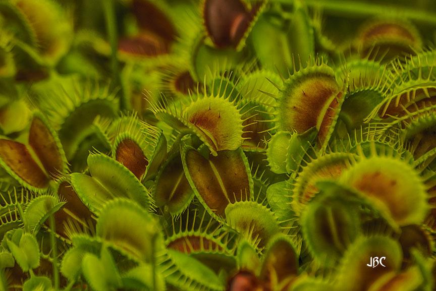 Photo of Venus Fly Trap (Dionaea muscipula) uploaded by jbcphotos