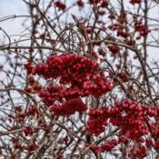 Location: Frederik Meijer Gardens, Grand Rapids, MichiganDate: 2019-12-07High Bush Cranberry - A winter larder for the birds