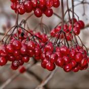 Location: Frederik Meijer Gardens, Grand Rapids, MichiganDate: 2019-12-07High Bush Cranberry, Viburnum opulus var. americanum - Birds don'