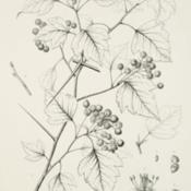 Date: c. 1892illustration [as C. cordata] by C. E. Faxon from Sargent's 'Silva