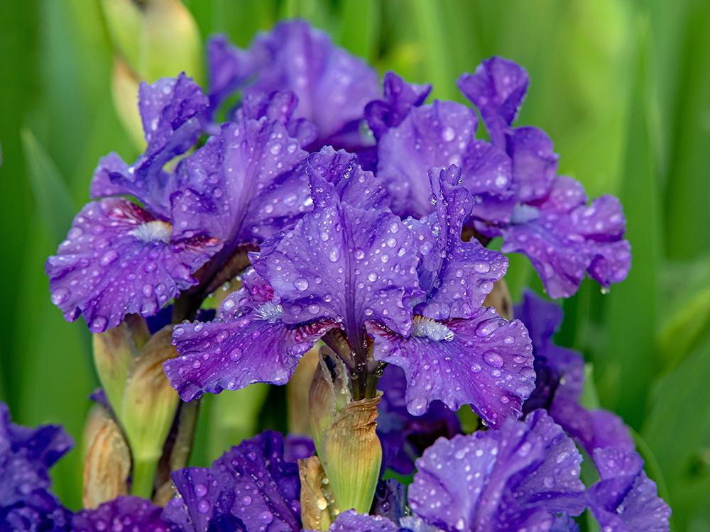 Photo of Intermediate Bearded Iris (Iris 'Double Overtime') uploaded by dirtdorphins