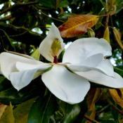 Location: Charleston, SCDate: 2013-05-17This neighborhood magnolia looked somewhat 'scaly', but