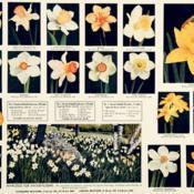 Location: I like the small daff photos, but wonder if whoever designed this ad was drunk— the perspective is all screwy...Date: c. 1938photos from the 1938 catalog, H. A. Hyde, Watsonville,